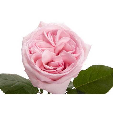 Light Pink Roshes by Light Pink Garden O Hara Pink Roses Flower Muse