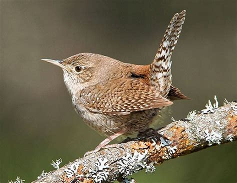 house wren house wren birds of north america online