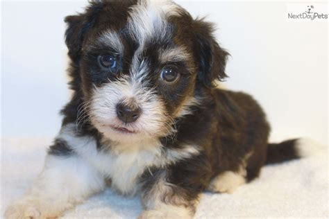 havanese puppies for sale bay area havanese puppy for sale breeds picture