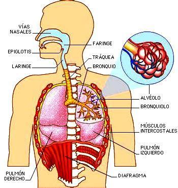 dibujo del aparato humano dibujos imagenes biologia sistema aparato imagenes del