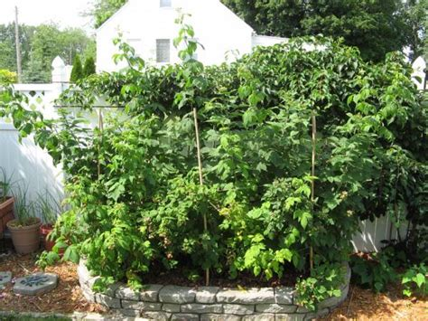 Raspberry Garden by Raspberry Fencing Related Keywords Suggestions