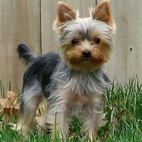 yorkie haircuts at home traditional yorkie puppy cuts hairstylegalleries