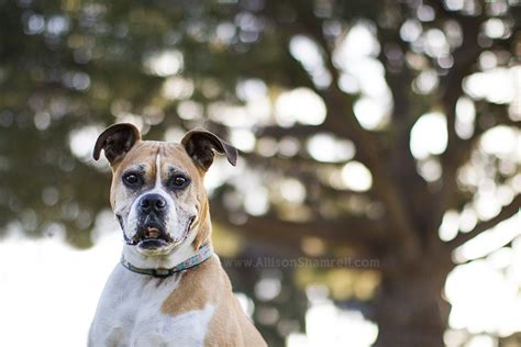 boxer puppies san diego dogs archives san diego pet photographer allison shamrell the san diego pet