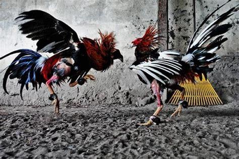 Bibit Ayam Hutan ayam petarung aceh persilangan ayam bangkok dengan ayam hutan