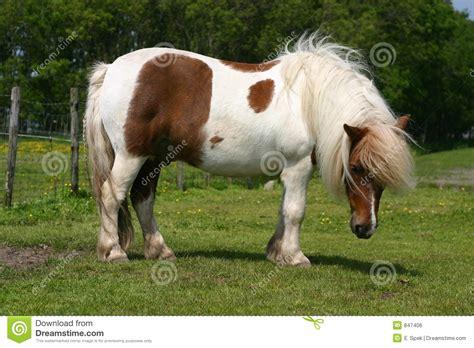 shetland pony stock photos images royalty free shetland shetland pony royalty free stock image image 847406