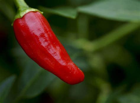wann kürbis vorziehen wenn s nicht hei 195 ÿ genug sein kann chilis selber ziehen