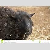 black sheep amongst straw mr no pr no 1 0 0