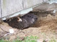 getting rid of groundhogs buildings living the