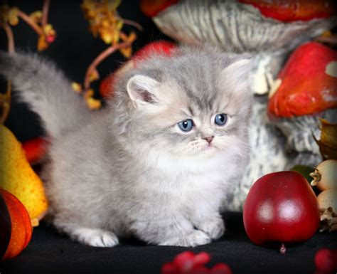 Chinchilla Blue Golden Persian Kitten For Sale Rug Hugger Rug Hugger Kittens For Sale