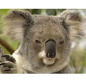 Animals Koala Portrait Lone Pine Sanctuary