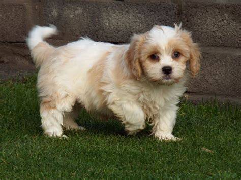oregon puppies for sale cavachon puppies for sale llanelli carmarthenshire pets4homes