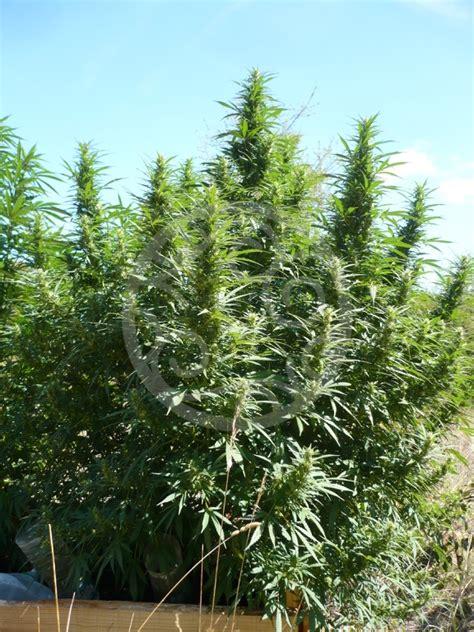 coltivare outdoor in vaso coltivare marijuana outdoor philosopher seeds