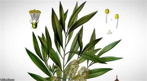 Daun Minyak Kayu Putih 10 tanaman pengusir tikus di rumah secara alami