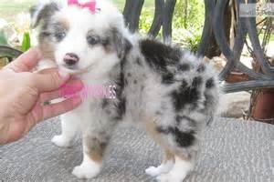 Miniature australian shepherd puppy for sale near abilene texas