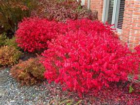 colorful bushes winged burning bush euonymus alatus compactus