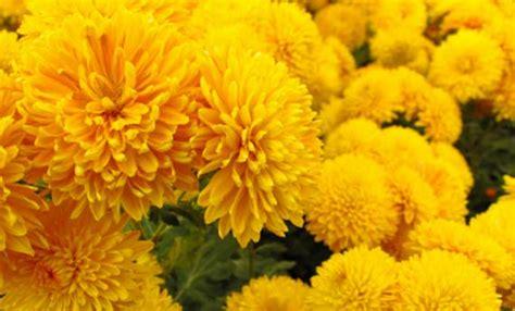 fiore autunnale crisantemi cure e significato fiore autunnale leitv