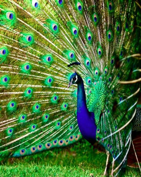 47 gorgeous peacock images that will make you feel winsome
