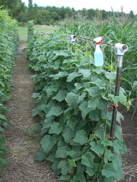 Cucumber Garden by 25 Best Ideas About Bean Trellis On Growing