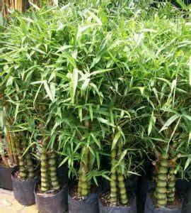 Jual Bibit Bambu Hias jual tanaman bambu hias