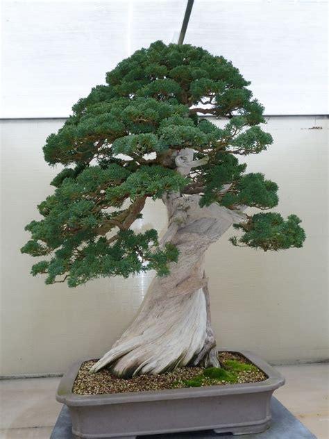 bonsai ebay 10 juniper bonsai seeds ebay