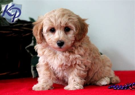 havanese puppies for sale pa 39 best images about havanese puppies on dogs names and click