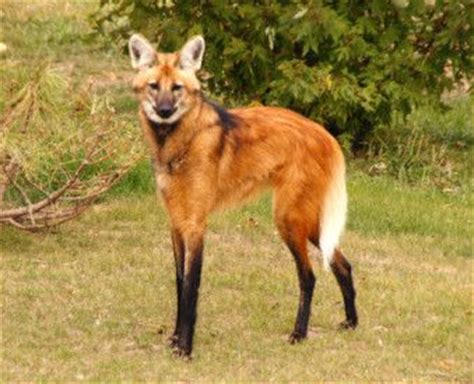 are foxes related to dogs maned wolf and looking humans
