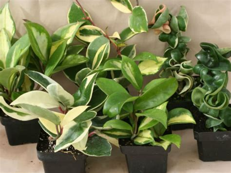 what is a foliage plant how to grow and care for hoya world of succulents