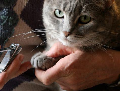 peut on couper les griffes des chats chat comment lui couper les griffes