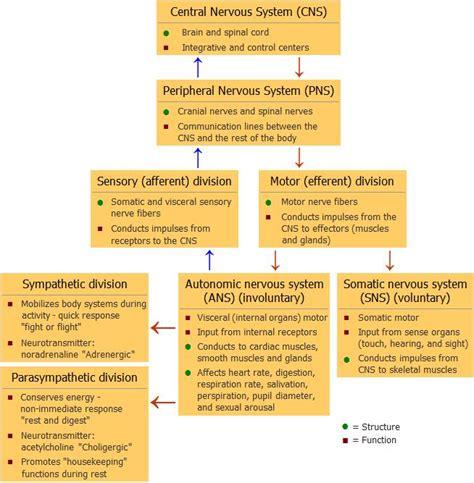 flow diagram of nervous system the nervous system complex regional crps