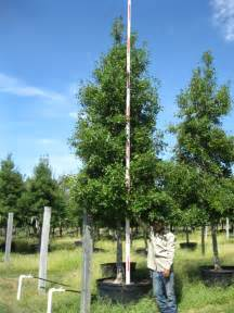 Related to plant savannah holly trees for screening