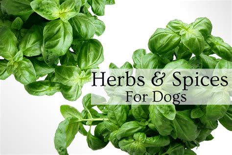 is rosemary safe for dogs herbs spices for your c k pet designs