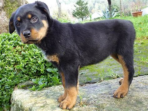 cheap rottweiler puppies for sale in michigan puppy rottweiler dogs in our photo