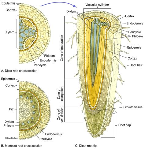 root structure diagram diagram plant pith diagram cross section