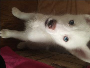 husky puppies for sale in mo 17 best ideas about siberian husky for sale on huskies for sale siberian