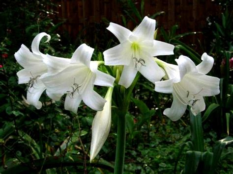 white flowering bulbs get domain pictures