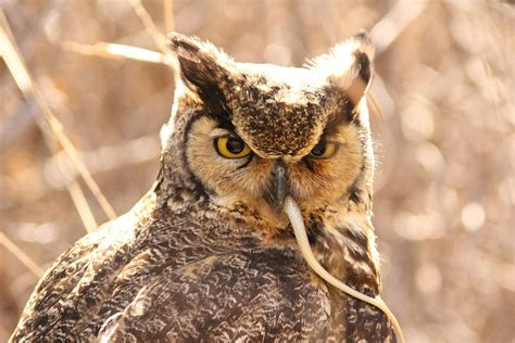 what do great horned owls eat great horned owls diet and