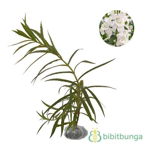 Tanaman Angelonia Putih tanaman angelonia putih