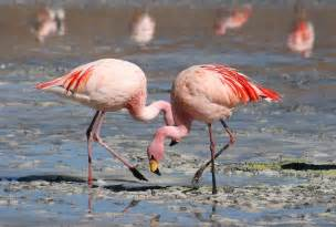 what color is a flamingo file flamingos laguna colorada jpg wikimedia commons
