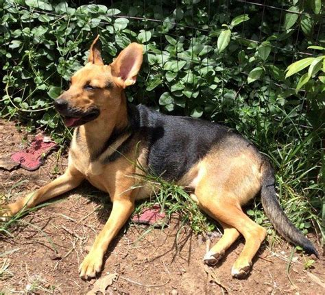 dogs for adoption in arkansas view ad german shepherd pembroke corgi mix for adoption arkansas