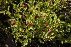Small Plants For Home - vaccinium scoparium grouse whortleberry grouseberry