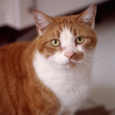 Yellow Painted Kitchens - ginger cat with yellow eyes cats the best cuddly cats and kittens housetohome co uk
