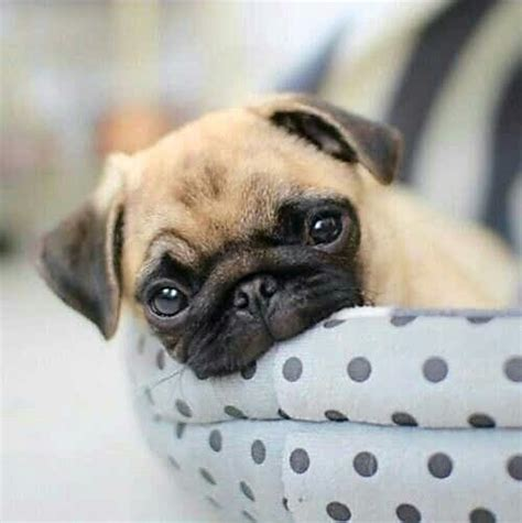 tell me about pugs 25 best ideas about pugs on pugs pug puppies and pug puppies