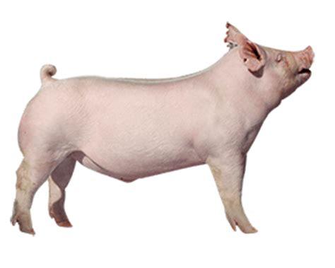 purina show purina show pig related keywords suggestions purina show pig keywords
