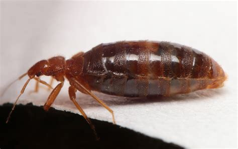 how common are bed bugs maryland biodiversity project common bed bug cimex