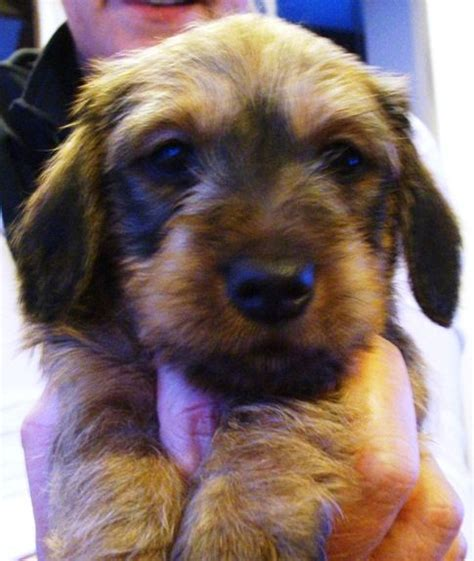 dachshund puppies northern california 1000 ideas about miniature wire haired dachshund on wire haired dachshund