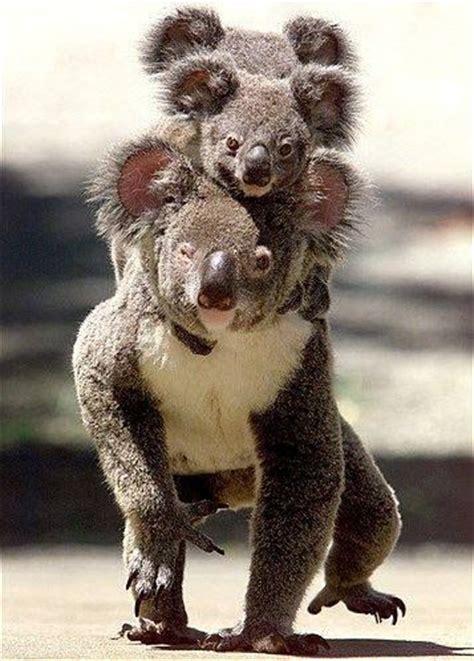Metto Koala les 175 meilleures images 224 propos de koala sur