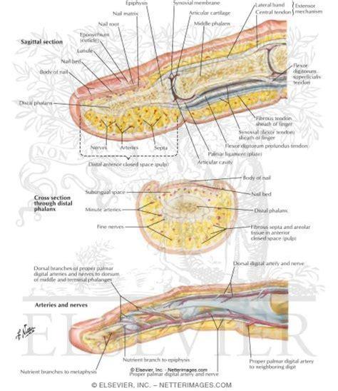 finger diagram finger anatomy understanding movement joints and