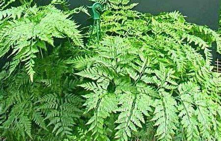 felce d appartamento 10 piante non hanno bisogno di luce ecoo