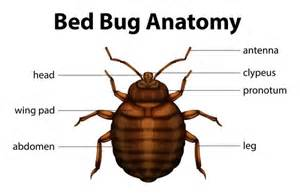 what are bed bugs bites dangerous for treatment and