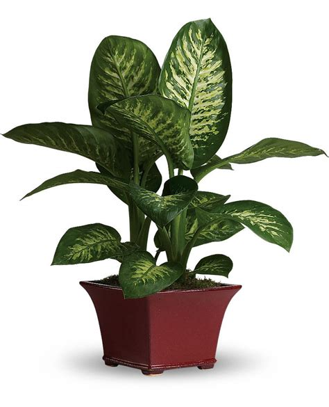 common tree like houseplants dumb dieffenbachia house plant care picture and profile for the home a